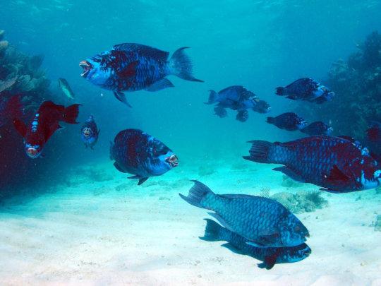 School of midnight blue parrotfish // Bill Goodwin