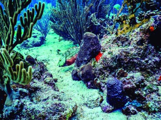 Stoplight parrotfish intermediate - Marisol Rueda