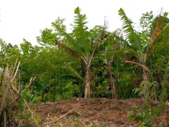 Agroforestry system on a farm in Choma village.