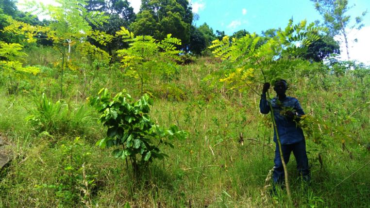 HeroTREEs: 2 year old Acrocarpus Flaxinifolia