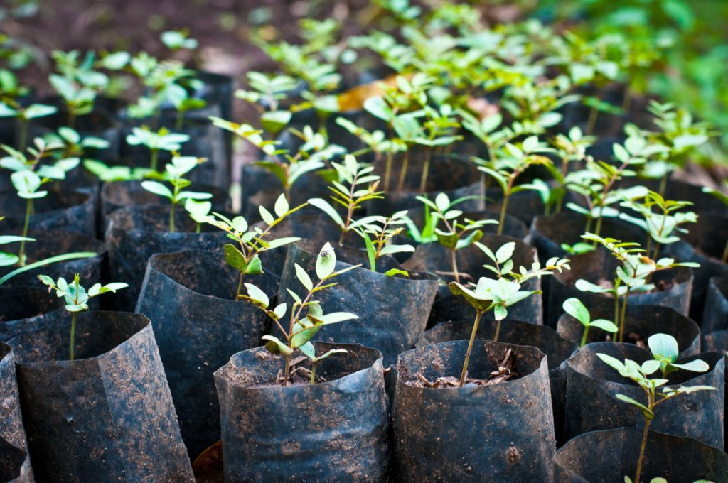 Seedlings ready for transplantation.