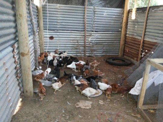 Older lot of chickens, Koro October 2016