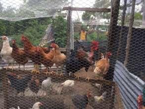 Happy Healthy chickens