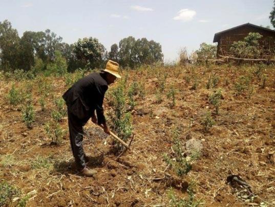 Alemayehu working in his field