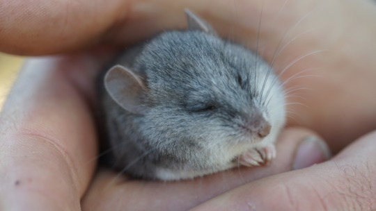 Beautiful Silky Mouse