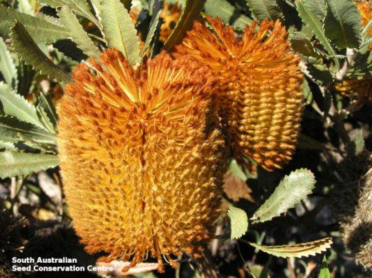 Desert Banksia