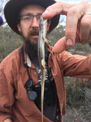 Dr Watson with a tenacious Eastern Striped Skink