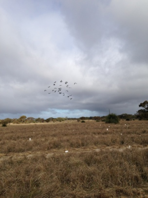RTBC flock flies overhead during planting