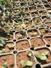 Young edible borage flower plants getting ready