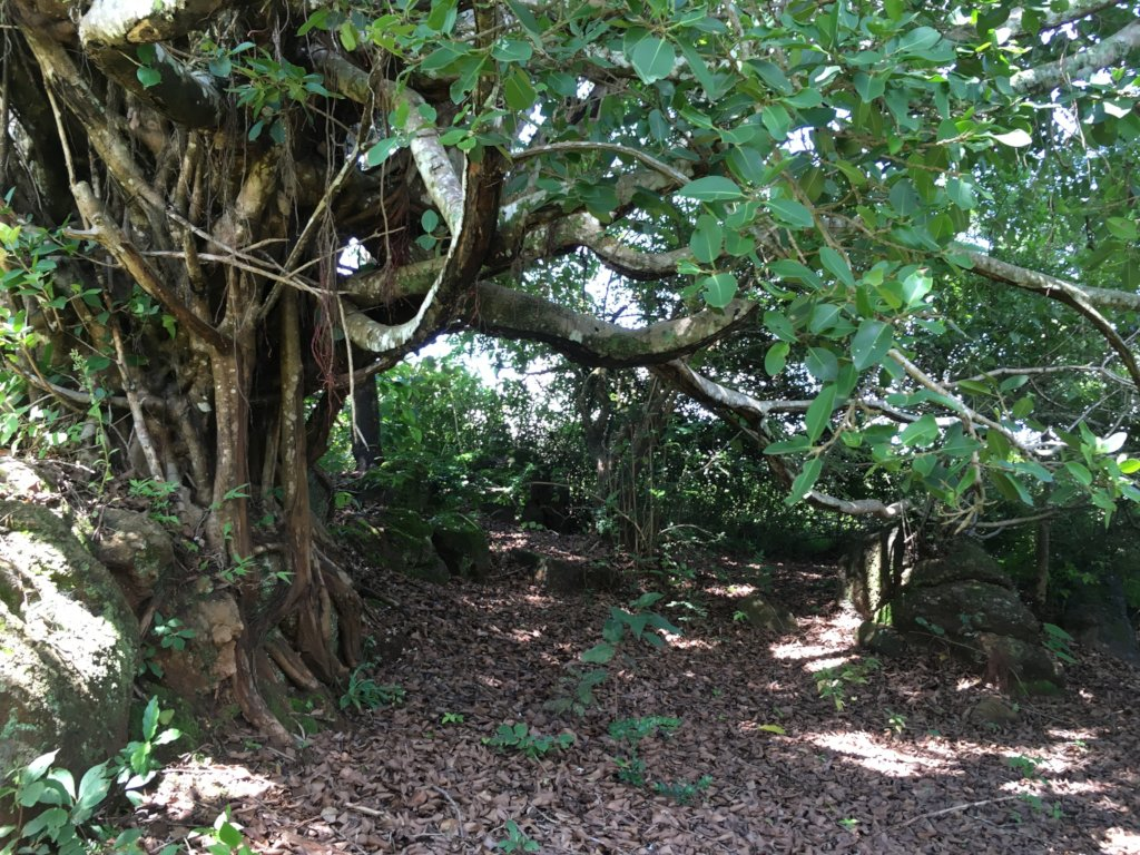 One of the special bodhi tree nooks on the land