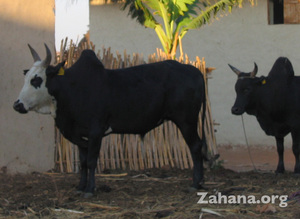 The typical hump that gives the zebu its name