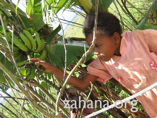 Harvesting the first bananas of the living fence