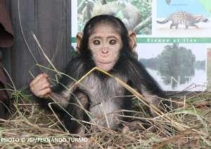 Little Antonio, Tchimpounga's newest arrival