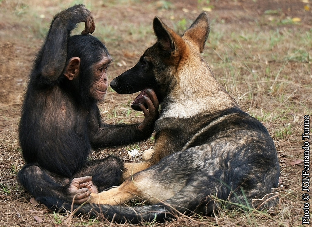 Normally chimps at this age are fearful of any new things that appear in their environment, but Makasi and Lobo are the best of friends at Tchimpounga.