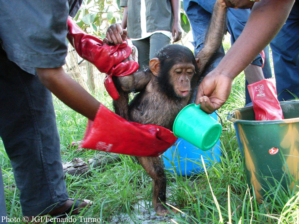 One of our new arrivals gets washed down. When chimps first come to Tchimpounga, many of them are malnourished and have infections. Getting them hydrated and clean is the frist step to their second chance.
