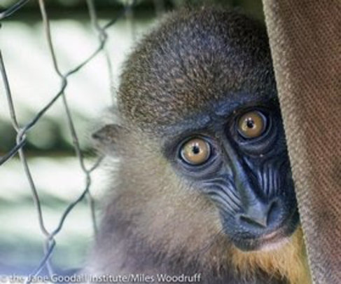 Baby mandrill at Tchimpounga