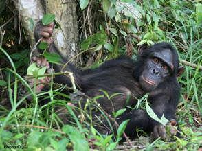 Chimpanzee Blek