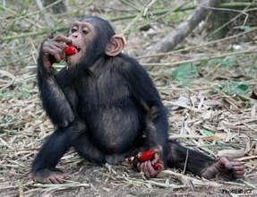 Chimpanzee Kauka