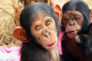 Jeje: An Orphaned Chimpanzee