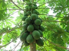 Fruit Trees & Food Justice for the Hawaiian People