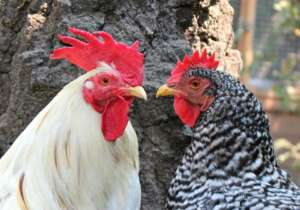 Save Abused, Domesticated Chickens and Ducks