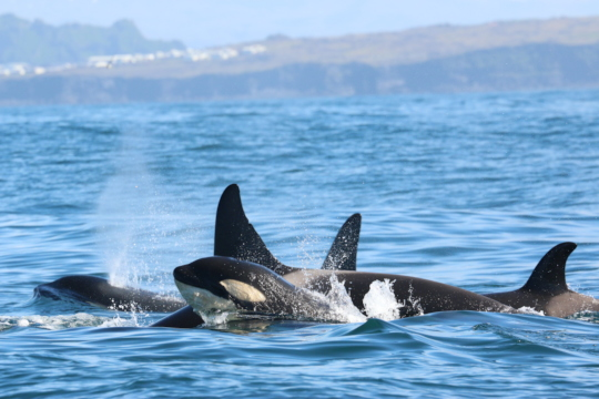 A pod of killer whales on the move