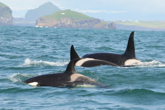 A pod of killer whales surface