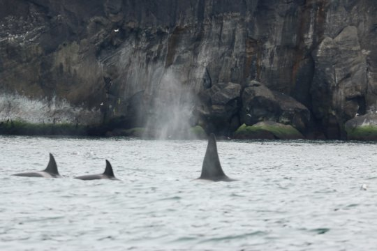 A male and 2 female killer whales