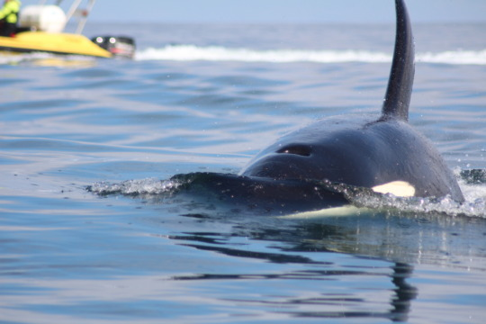 A Killer Whale approaches the research boat