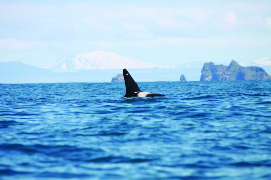 A killer whale surfaces