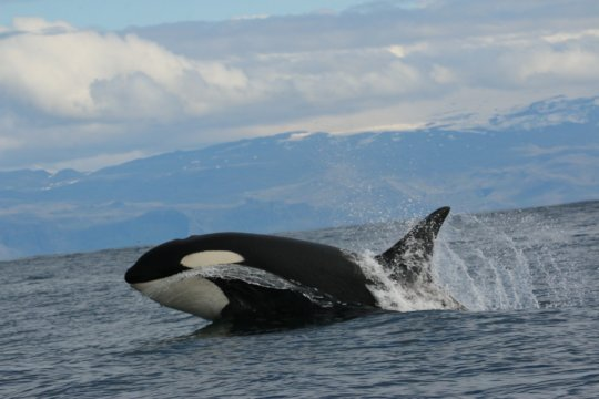 A killer whale leaps out of the water