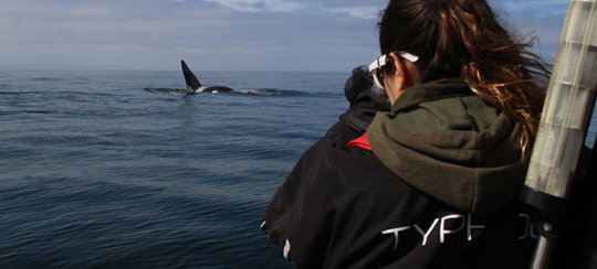 A volunteer tracks and observes a killer whale.