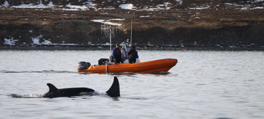 A research boat follows and observes killer whales