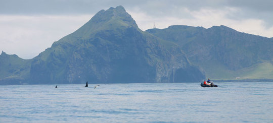 Observing killer whales off Vestmannaeyjar's coast