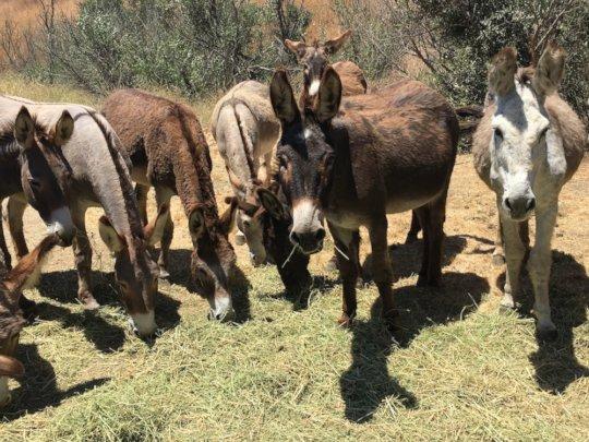 RTF Burros Appreciate the Protected Hay