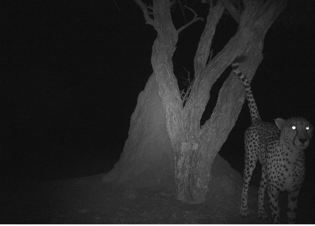 Cheetah in bush-harvested area marking playtree