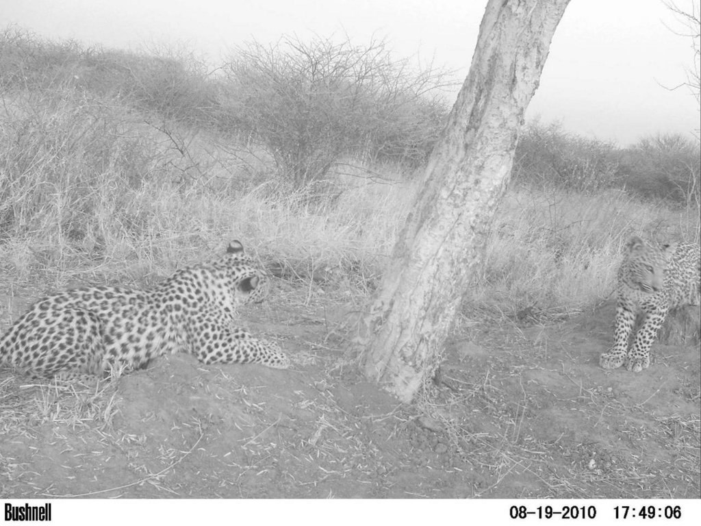 Leopard cubs at playtree in bush-harvested area