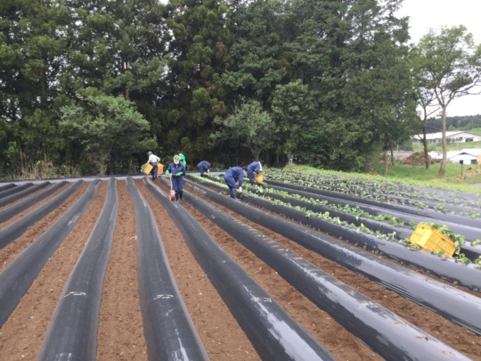 Mobilized volunteers while planting sweet potatoes