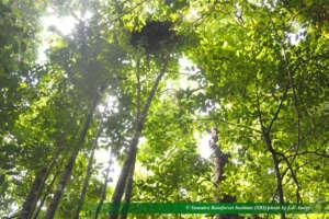Orangutan nest Sibualbuali