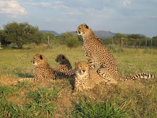 Ambassodor Cheetahs