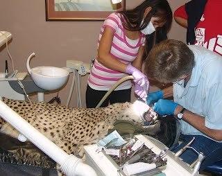 Cheetah at Dentist 1