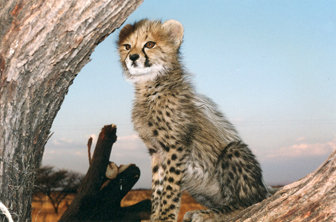 Chewbaaka as a cub, by Kim Atkinson