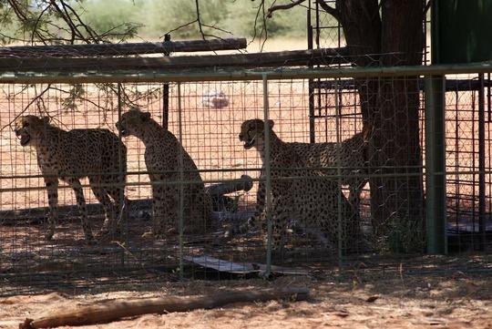 Cheetahs in Trap