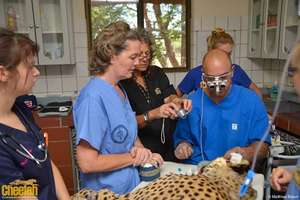 Windhoek Ophthalmologist Helps Save Cheetahs Eyes