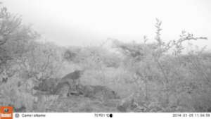 Camera trap photo showing Zinzi and her cubs