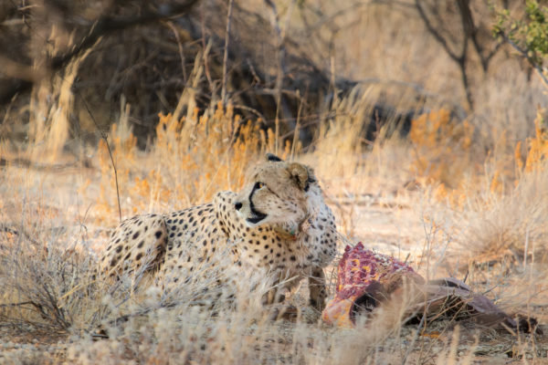 Miers the Cheetah eating