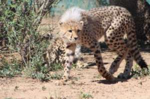 One of the orphaned cheetah cubs