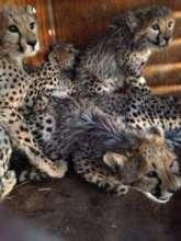 Orphaned Cheetahs