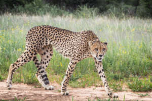 Zinzi the Cheetah