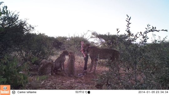 Zinzi and cubs caught on camera trap